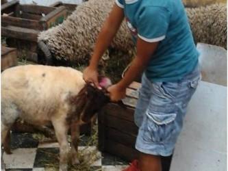 mouton et un enfant Ajlid